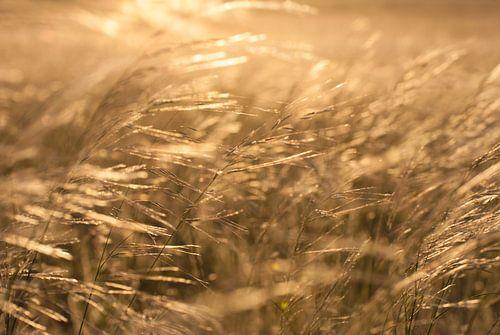Wuivende grashalmen