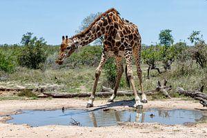 Giraffe (Giraffa camelopardalis) Mann, der aus einem Teich trinkt