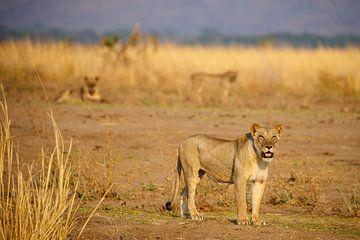 Leeuwin, Mana Pools, Zimbabwe van Marco Kost