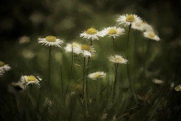 Gänseblümchen von Dagmar Marina
