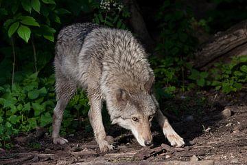 Une puissante louve (femelle loup) renifle le sol lors d'une chasse, d'un regard de loup et d'une po sur Michael Semenov