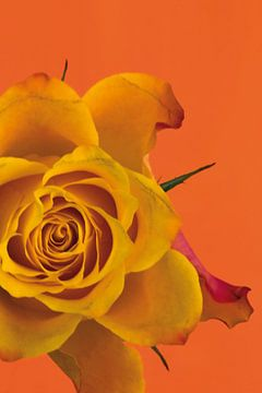 Foto van een oranje roos. van Therese Brals
