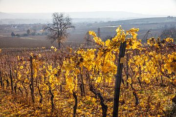 Herbst in den Weinbergen bei Schloss Vollrads van Christian Müringer