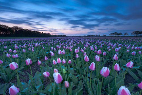 Tulpenpracht in Drenthe