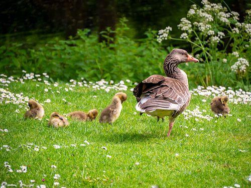 Ganz met kuikens in het gras