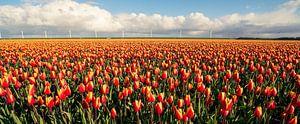 Oranje velden in Flevoland