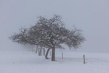 Apfelbäume in Reih und Glied auf der nebligen wiese