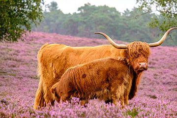 Schottische Hochlandrinder mit Kalb in einem blühenden Heidekrautfeld von Sjoerd van der Wal