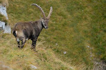 Steinbock /  Alpensteinbock ( Capra ibex ) auf einer Bergwiese in den Alpen, wildlife, Europa. von wunderbare Erde