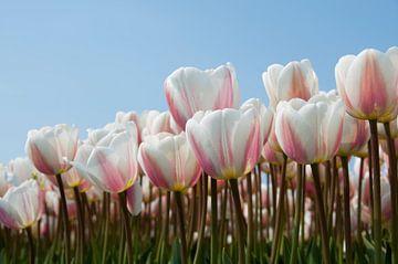 Weißrosa Tulpen in den Tulpen Felder von Lisse. von Ton de Koning