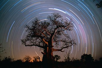 Baobab boom omringd door sterren van Frans Lemmens