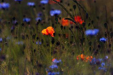 Mohnblumenfeld im Morgenlicht van