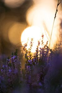 Ondergaande zon met paarse heide