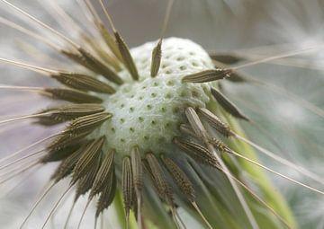 Dandelion sur Marlies Prieckaerts