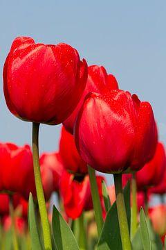 Roden Tulp van Dennis Schaefer