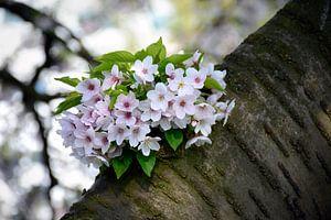 Kersenbloesem ontspruit op boomstam van