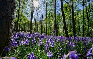 bluehende Hasengloeckchen  im Wald von Jürgen Ritterbach