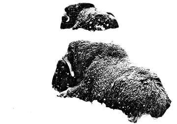 Deux boeufs musqués sont couchés dans la neige pendant l'hiver rigoureux. Isolé sur fond blanc.bœufs sur Michael Semenov