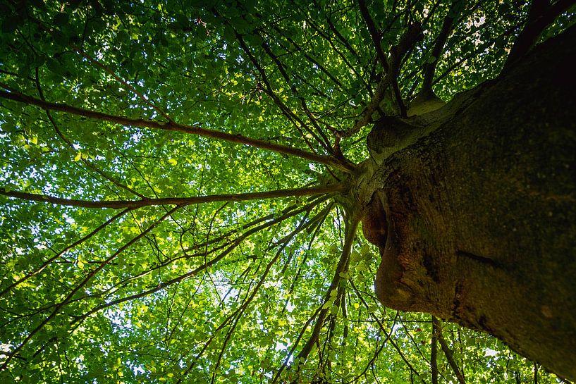 Boom in het bos van Koop je Canvas