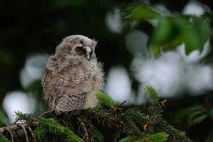 young owl... Long-eared Owl *Asio otus*