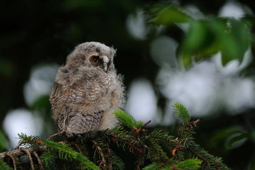 young owl... Long-eared Owl *Asio otus* van wunderbare Erde