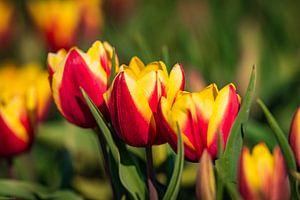 Tulips van Arjen Uijttenboogaart