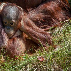 Orang-oetang jong in het gras met zijn/haar handen op het hoofd van Joost Adriaanse