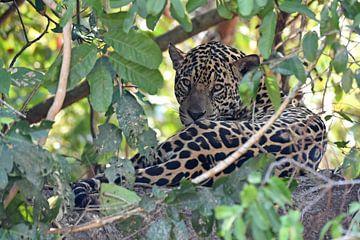 Jaguar op de loer in het struikgewas, Pantanal Brazilië van Koolspix