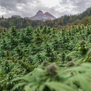 CBD-cannabisveld in de bergen van Felix Brönnimann