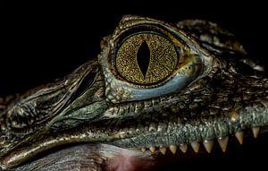 Crocodile eye close-up
