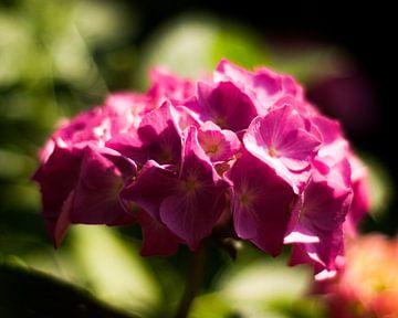 Hortensia roze van Big Vissie