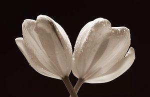 Twee tulpen met waterdruppels