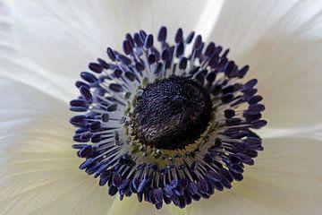 Witte anemoon van Barbara Brolsma
