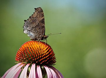 Vlinder van Dick Besse