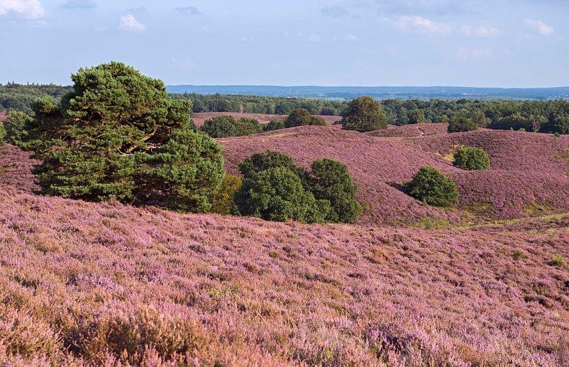 Heideblüte in der Veluwe, Blick über eine weite Hügellandschaft voll mit blühender Besenheide und ve van wunderbare Erde