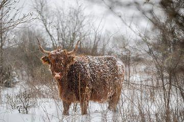 Schotse hooglander in de sneeuw van Alvin Aarnoutse