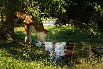 Drinkende koe in een weide van Martina Weidner