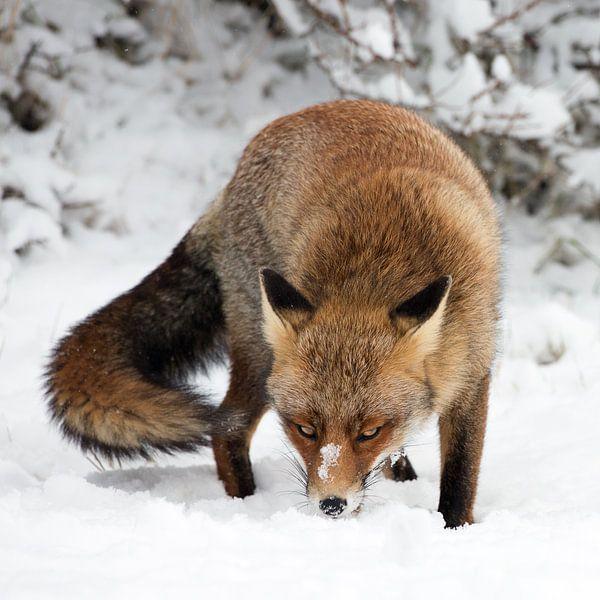 Vos staat in de sneeuw