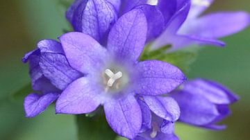 Paarse bloem macro von Gonnie van Hove