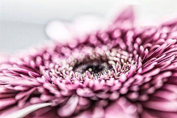 Roze Gerbera van MirjamCornelissen - Fotografie