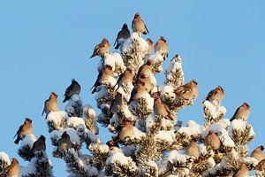 Groep Pestvogels (Bombycilla garrulus) in dennenboom.