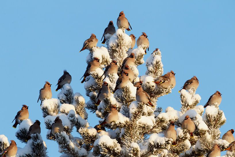 Groep Pestvogels (Bombycilla garrulus) in dennenboom. van Beschermingswerk voor aan uw muur