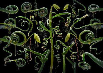 Albuca spiralis van Olaf Bruhn