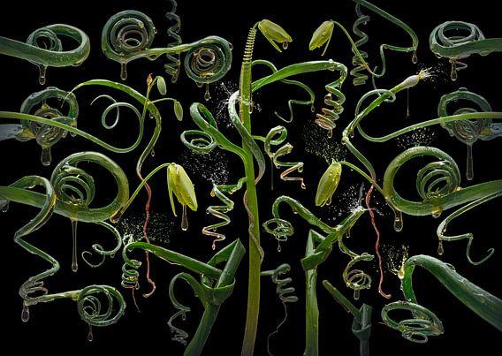 Albuca spiralis
