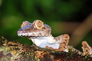 Giant Leaf-tailed Gecko von Dennis van de Water