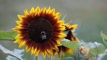 Sonnenblume mit Hummel von Susann Bendix