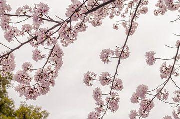 Japanse kersenbloesem in Kyoto von Catherine McGivern