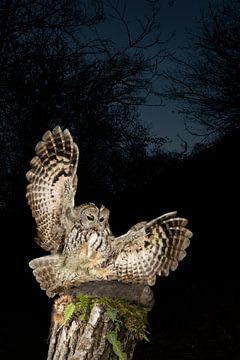 Waldkauz (Strix aluco) in der Nacht von AGAMI Photo Agency
