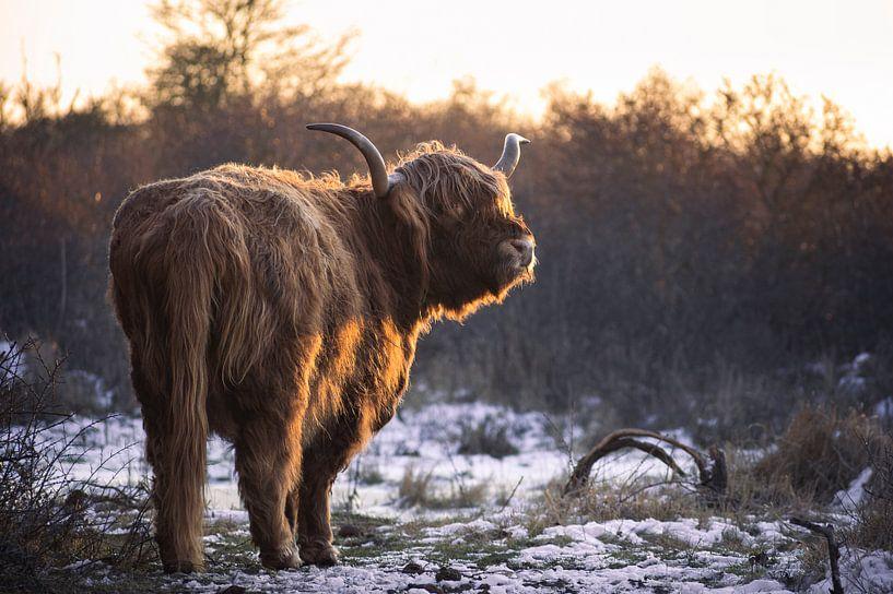 Le Highlander écossais en hiver sur Thom Brouwer