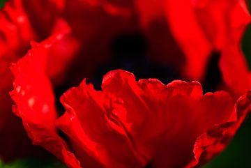 Rode papavers in eigen tuin von Margo Schoote